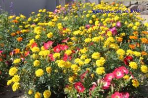 暑さにも負けず,花は咲いています!