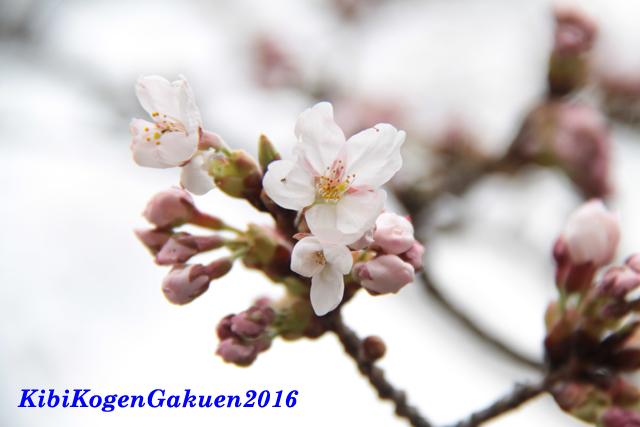 サクラ開花(桜坂3/31)