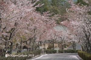 桜坂-IMG_3151-E1C