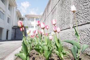 校内のチューリップも鮮やかに咲いています。