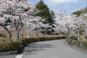 桜並木(北門方向)。